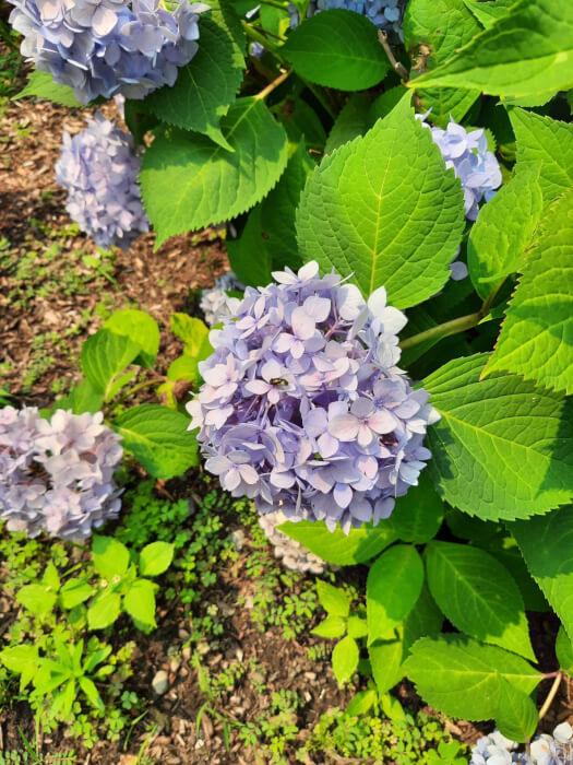 Mẫu máy ảnh Samsung Galaxy XCover Pro cho thấy một cây có hoa màu tím với những chiếc lá xanh.